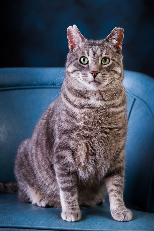 JB, an adopted Domestic Short Hair Mix in Asheville, NC