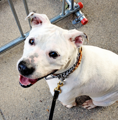 Diamond, an adopted American Bulldog & Labrador Retriever Mix in Chicago, IL