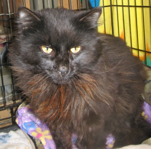 Hammond, an adopted Domestic Long Hair Mix in Maple Ridge, BC