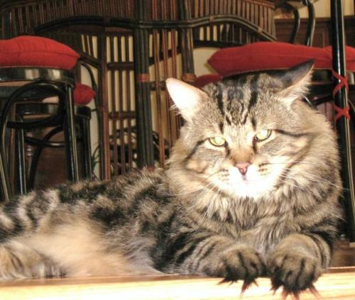 Tiger, an adopted Tabby & Maine Coon Mix in Ottawa, ON