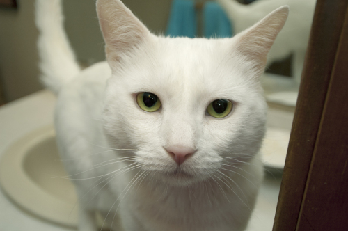 Jackson Galaxy, an adopted Domestic Short Hair in Newtown, CT