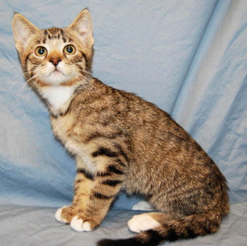 Nala, an adopted Tabby & Domestic Short Hair Mix in Fullerton, CA
