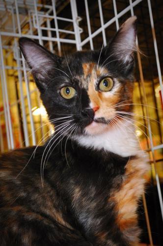 Ollie Jean, an adopted Tortoiseshell & Domestic Medium Hair Mix in Tallahassee, FL