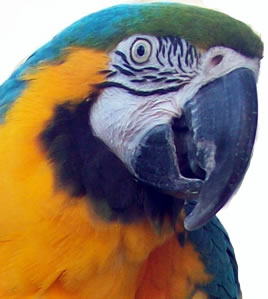 Parrot for adoption - Ollie and Layla, a Macaw in Asheville