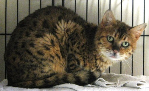Shyla, an adopted Bengal in Maple Ridge, BC