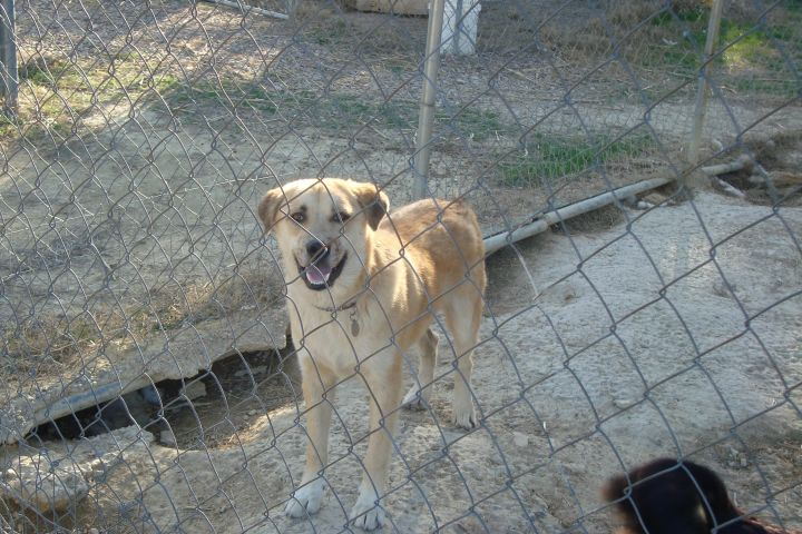 6c1d5d23 ... TX Snickers, an adoptable Catahoula Leopard Dog & Husky Mix in Plano,  ...