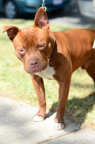 Count Chocula, an adopted Pit Bull Terrier in Chicago, IL