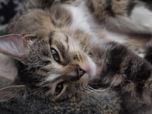 Fiji, an adopted Tabby in Maple Ridge, BC
