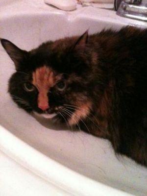 Sassy Tortoiseshell Cat