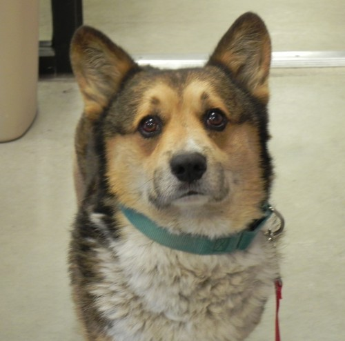 Shadow, an adopted Corgi in Mason City, IA