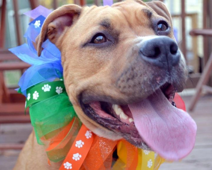 Polly Pocket, an adopted American Bulldog & Vizsla Mix in Overland Park, KS