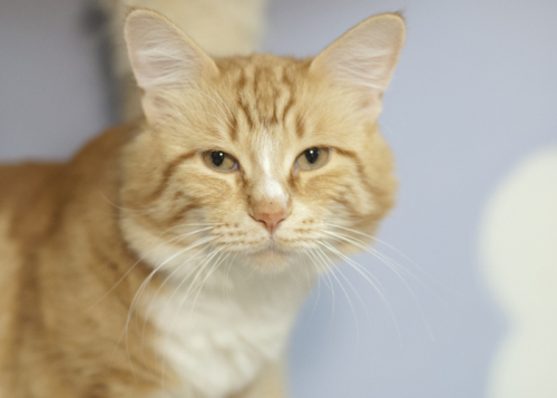 Tigger, an adopted Domestic Long Hair in Fort Smith, NT