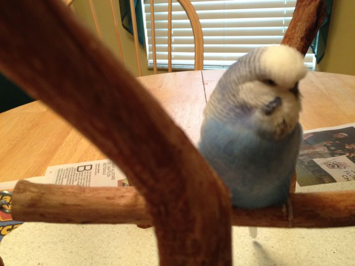 Louie, an adopted Budgie / Budgerigar in Bonita Springs, FL