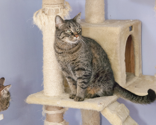 Smokey, an adopted Tabby Mix in Fort Smith, NT
