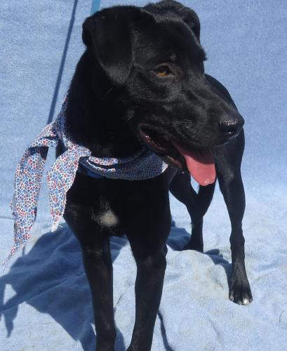 HONEY, an adopted Black Labrador Retriever Mix in Marietta, GA