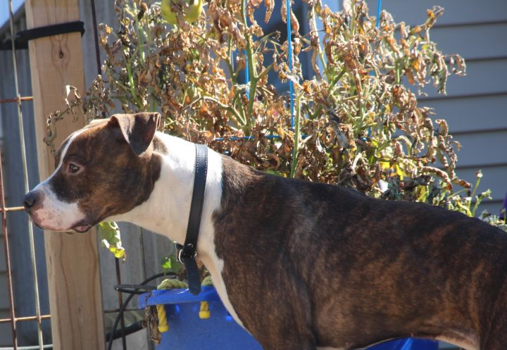 Ace, an adoptable American Staffordshire Terrier & Dachshund Mix in Madison, WI