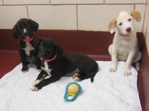 Suri, Kimmi, Marla, & Annie, an adopted Labrador Retriever Mix in Marietta, GA