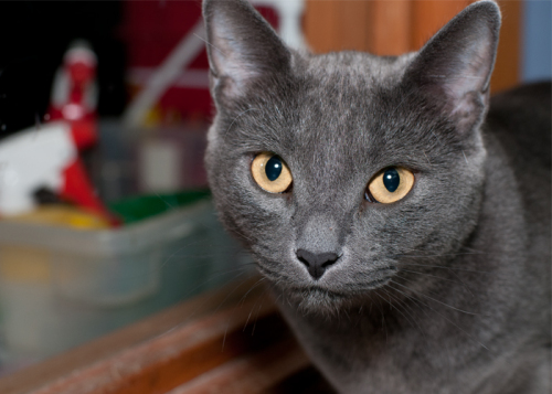 Storm, an adopted American Shorthair in Fort Smith, NT