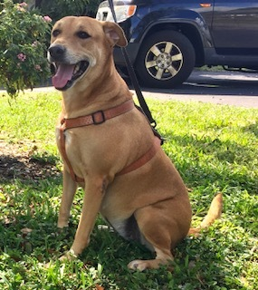 Cecilia, an adoptable Hound & Labrador Retriever Mix in Davie, FL