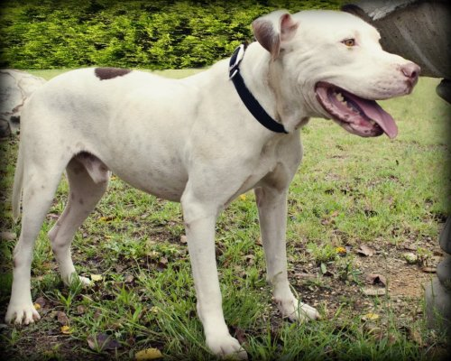 Lionel, an adopted American Bulldog in Macon, GA