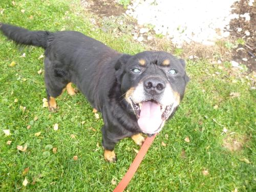 114763 Snuffleupagus IN FOSTER CARE, an adopted Rottweiler & Beagle Mix in Ravenna, OH