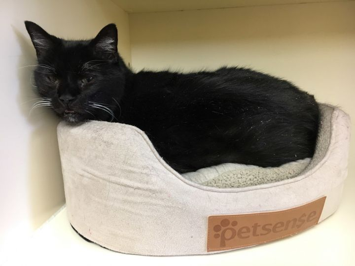 Cricket, an adopted Domestic Short Hair in Hays, KS
