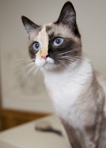 Ducati, an adopted Siamese & Domestic Short Hair Mix in Fort Smith, NT
