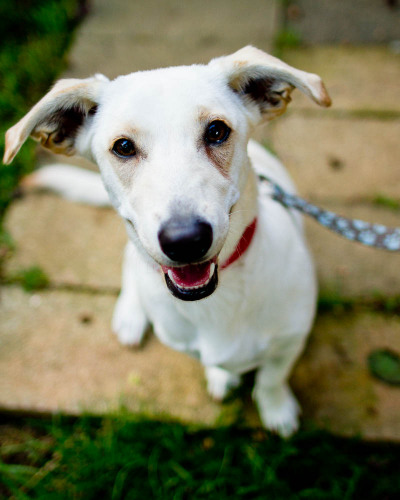 Bella, an adopted Yellow Labrador Retriever & Dachshund Mix in Winston-Salem, NC
