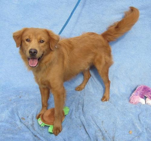 ALVIN (R), an adopted Golden Retriever Mix in Marietta, GA