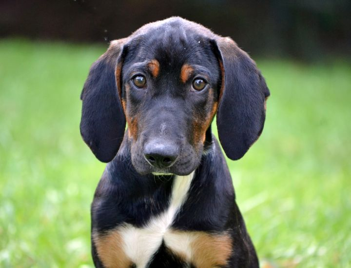 Amos, an adopted Coonhound Mix in Asheville, NC