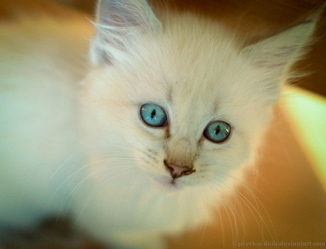 Siamese and Flame Point Ragdoll Mixes