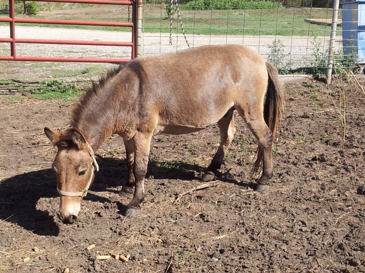Seymore, an adopted Donkey in Emporia, KS