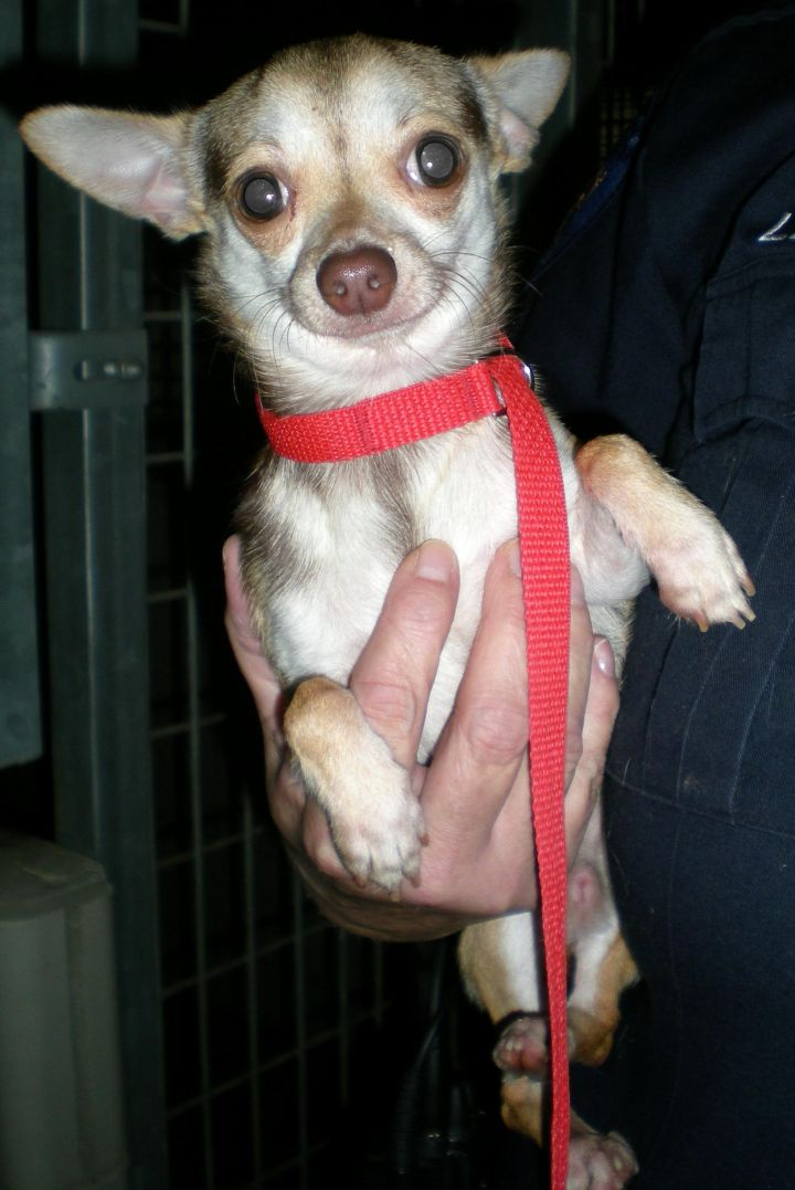 Chip, an adopted Chihuahua in Troy, MI