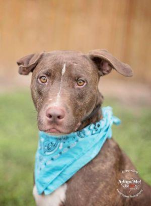 Austin Labrador Retriever Dog