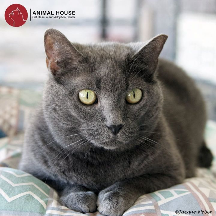 Lavender, an adoptable Domestic Short Hair in St. Louis, MO