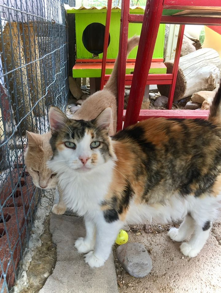 Cassie, an adoptable Domestic Long Hair in Williamsburg, NM