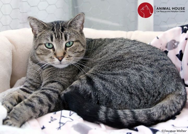 Thor, an adoptable Tabby in St. Louis, MO