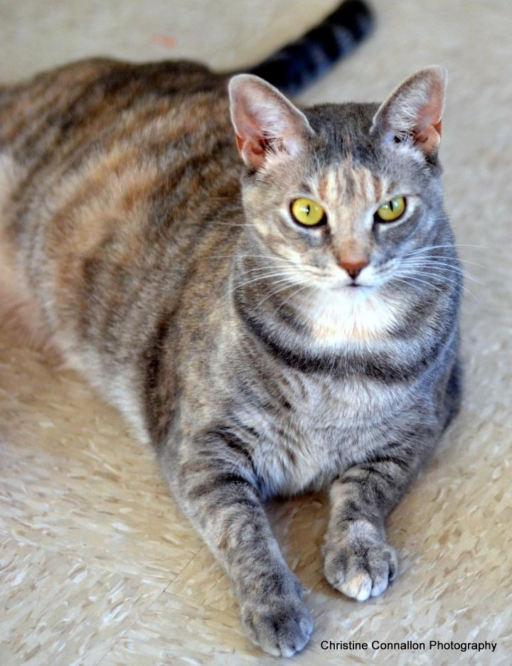 Calico Cat With Interesting Gps >> Cat For Adoption Sally A Domestic Short Hair Dilute Calico Mix