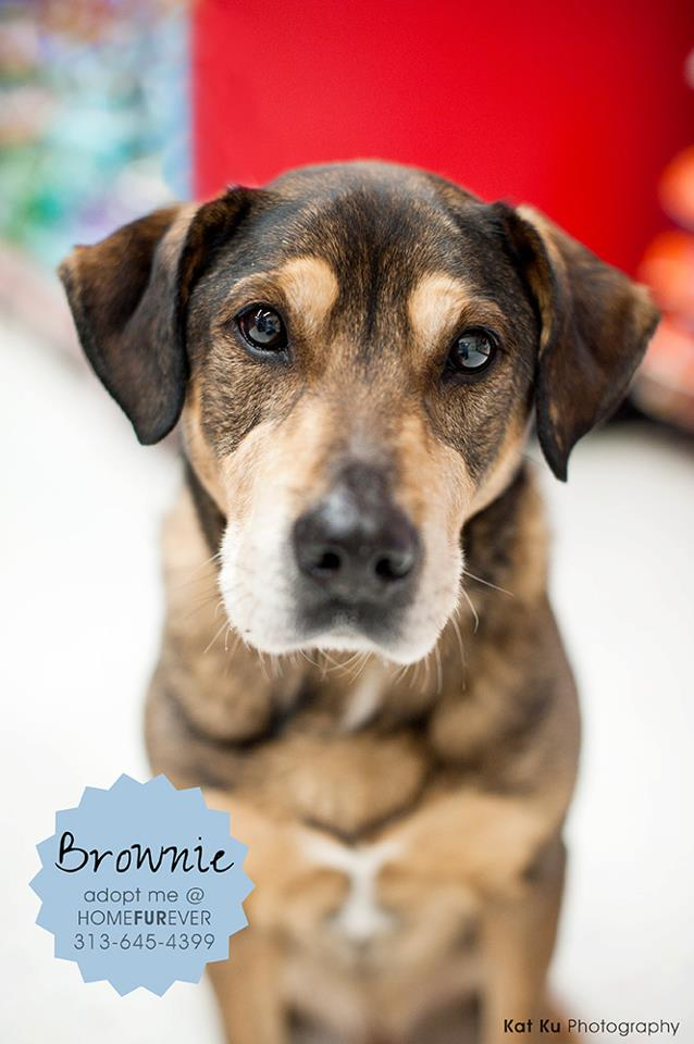 Brownie - Adopted!, an adopted Shepherd in Detroit, MI