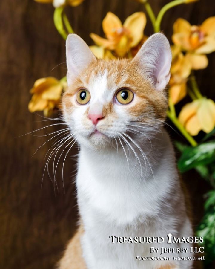 Renoir, an adoptable Domestic Short Hair Mix in Fremont, MI