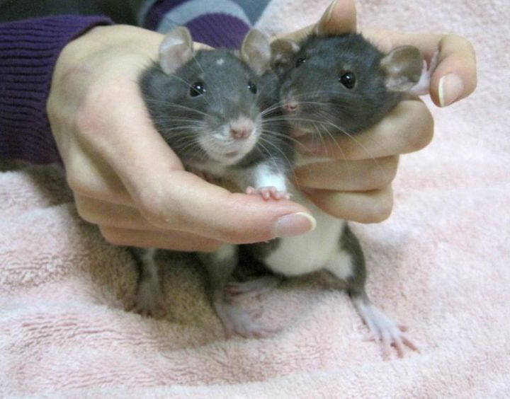 Sadie & Mika, an adopted Rat in Montreal, QC
