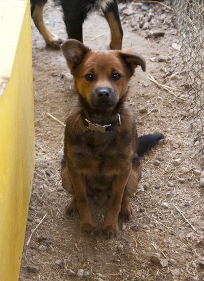 Roscoe, an adopted Terrier Mix in Fort Smith, NT