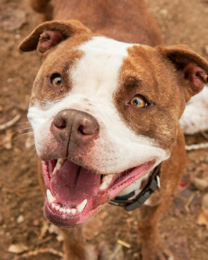 Betty, an adopted Pit Bull Terrier in Eagle, ID