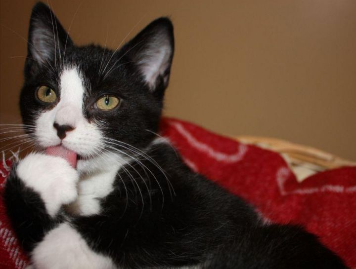 Brody, an adopted Domestic Short Hair in Ottawa, ON