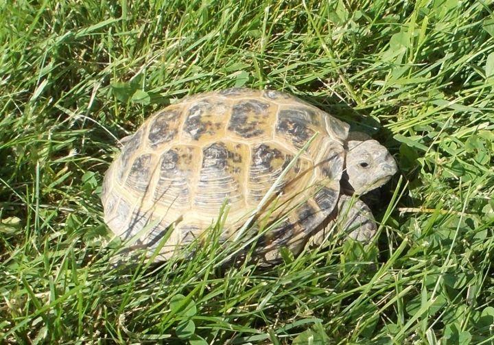 Russian Tortoise 2