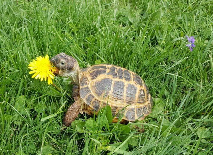 Russian Tortoise 1