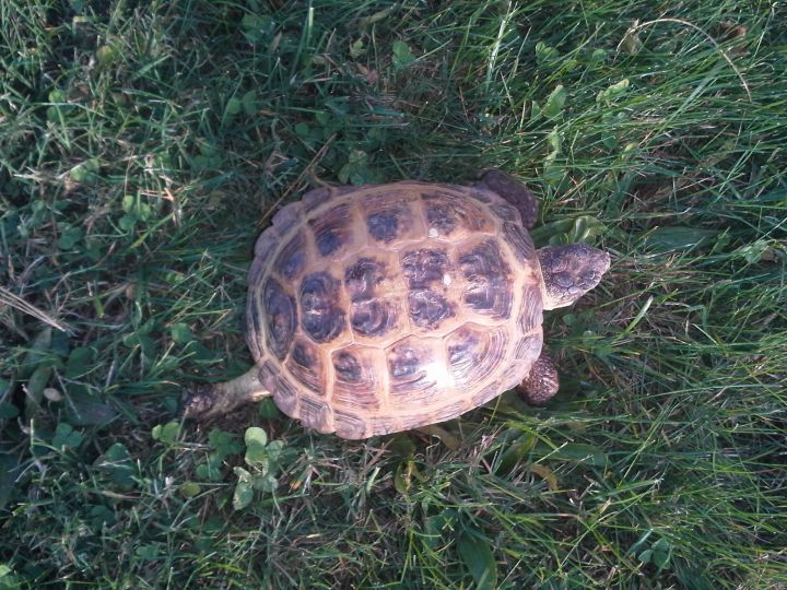 Tortoise for adoption - Russian Tortoise, a Russian in