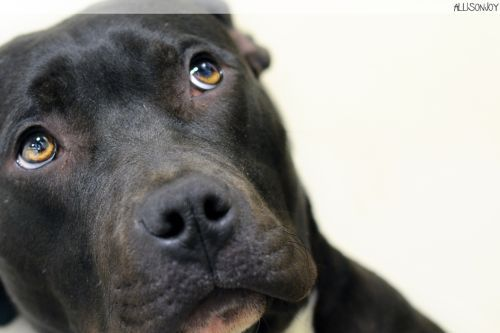 Donner **URGENT**, an adopted Labrador Retriever & Pit Bull Terrier Mix in Berkeley, CA