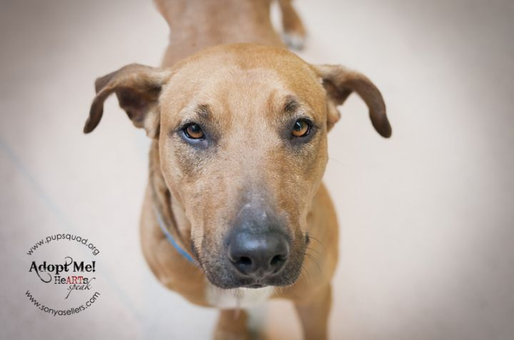 Seraphina, an adopted German Shepherd Dog & American Staffordshire Terrier Mix in Houston, TX