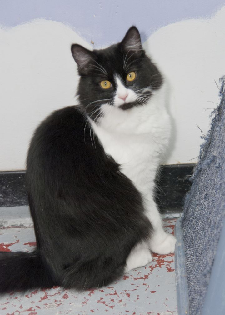 Penquin (Penney), an adopted Domestic Short Hair in Fort Smith, NT